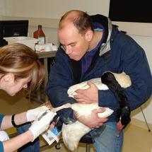 Ambulante Versorgung einer Sohlenverletzung bei einem Schwarzhalsschwan