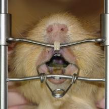 Meerschweinchen narkotisiert im Zahnbehandlungsstand