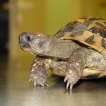 Grichische Landschildkröte Findus